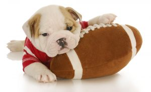 Cute American bulldog puppy in jersey with plush football