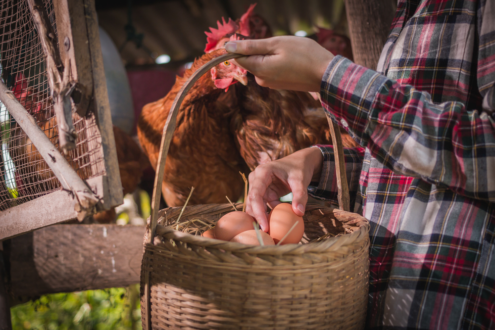 Woman farmer puts eggs in basket.